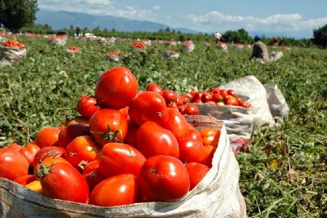 Productores de tomate son beneficiados con préstamos a tasa cero del Bagrícola