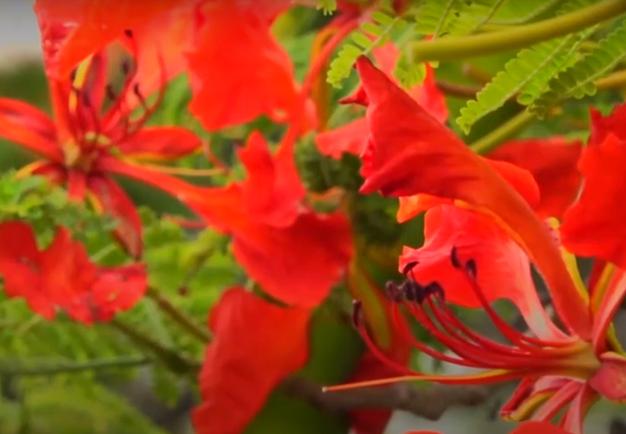 Musa de los artistas, árbol de Madagascar que con sus colores embellece nuestra tierra: El Flamboyan